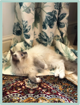 Jacqueline's handsome assistant, Spike, a mischievous workroom kitty, beautiful blue mitted ragdoll cat